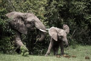 kenya elefanter